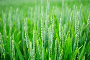 Green wheat green and elegant HD background