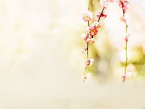 March Peach Blossom Yellow Background Picture